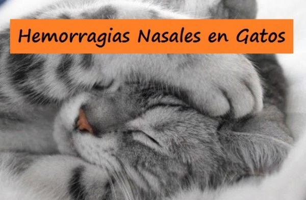 Hemorràgies nasals en gats