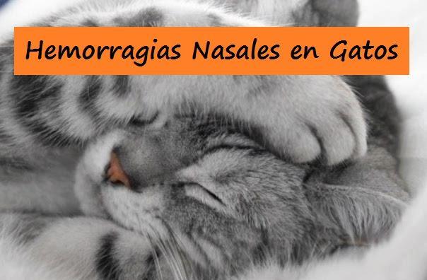 Hemorragias Nasales Gatos