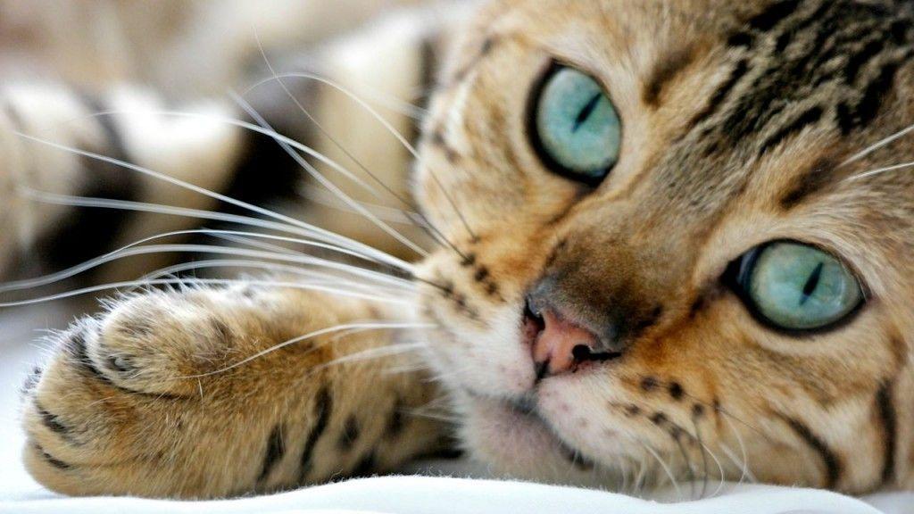 Bigotes de Gatos