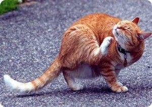 mi-gato-tiene-pulgas