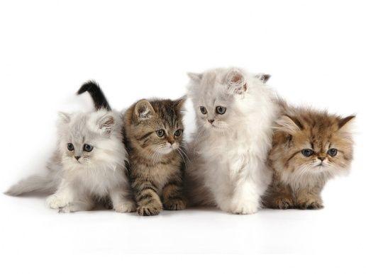 Celo Cuidar Gatitos Fotos Razas Gatos