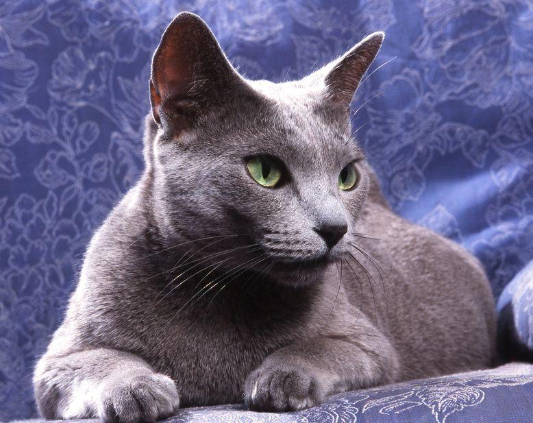 Asnos de gato de ala derecha