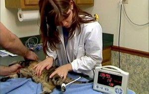 Los gatos y la hipertensión arterial