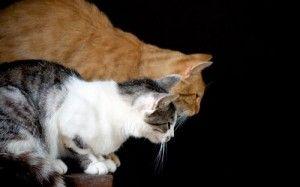 Gatos, nutrientes esenciales taurina