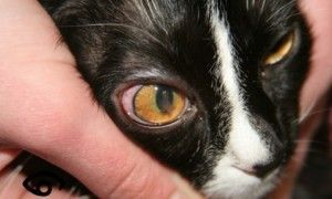 Leucemia en gatosfelina