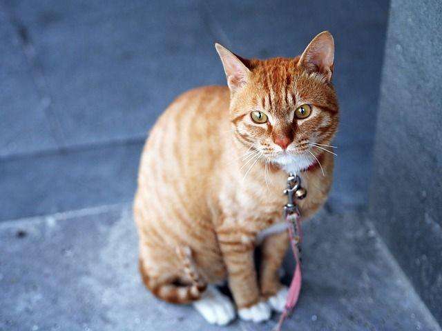 gato-collar