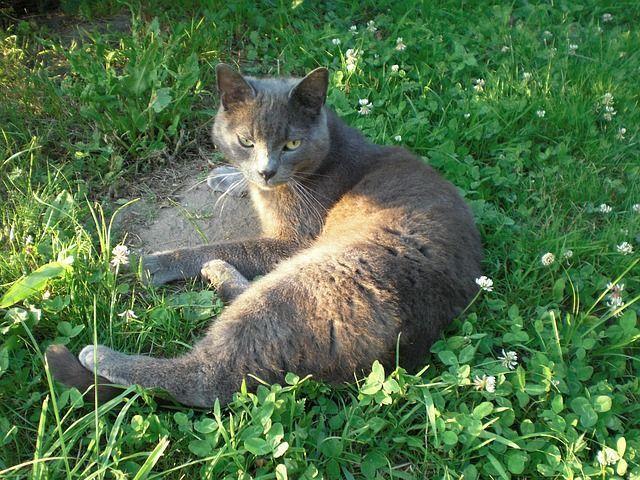 russian-blue-cat-4855_640