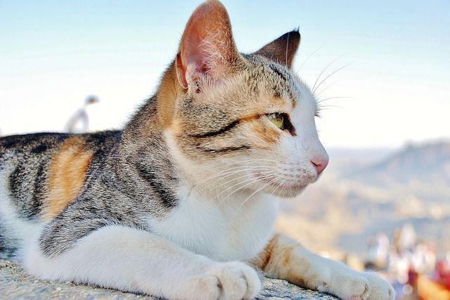 cat-115701_640