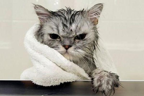 Debemos Bañar A Nuestro Gato