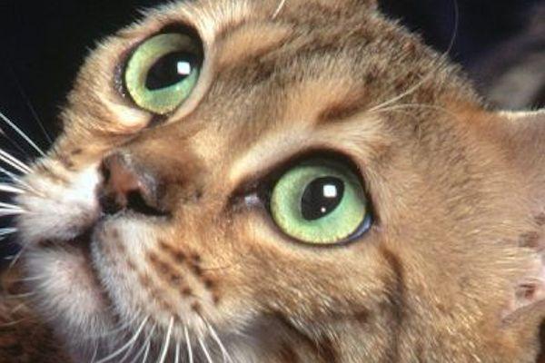 Salud y Mascotas Como Limpiar Los Ojos De Tu Gato 1