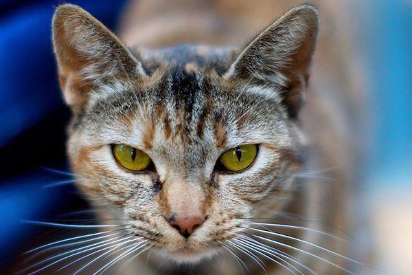 Salud y Mascotas Como Limpiar Los Ojos De Tu Gato 2