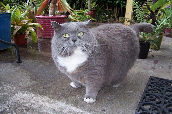 La Obesidad felina