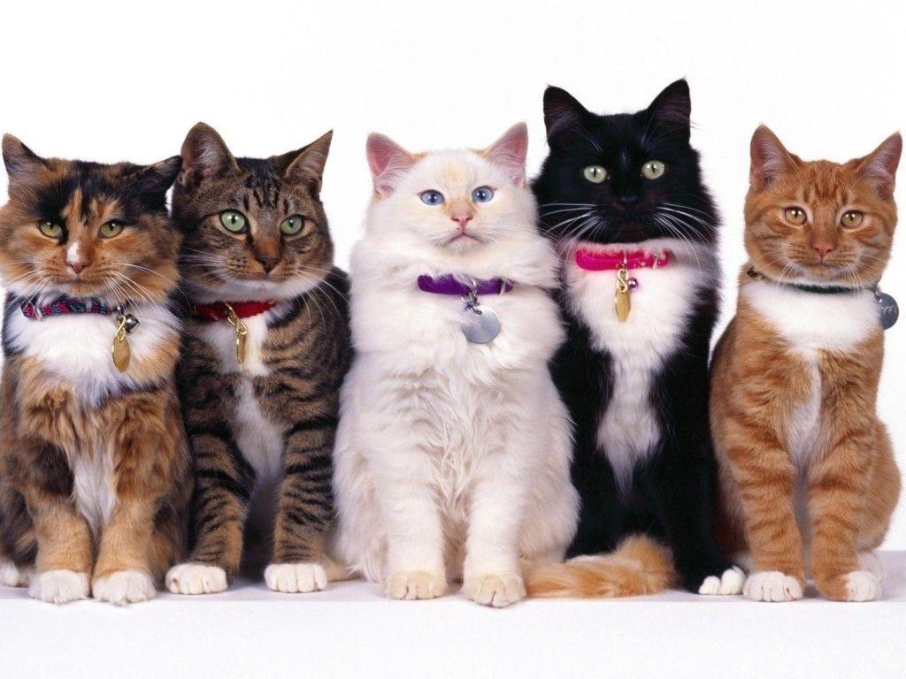 Collares en Gatos