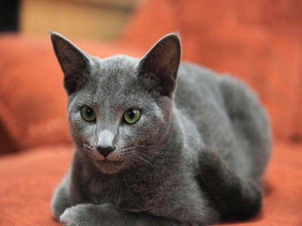 russian-blue-cat-breed