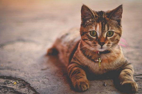 Resfriado en los Gatos: Síntomas Habituales
