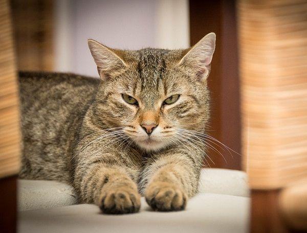 La Importancia de la Vacunación para Gatos