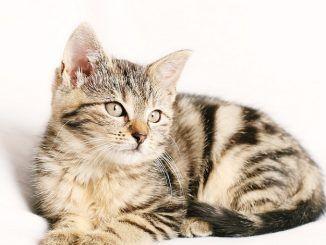 Funciones del Veterinario Cuando Trata a los Gatos