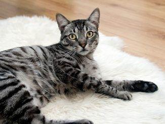 Cómo Evitar el Sobrepeso en los Gatos