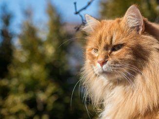 Cómo Elegir el Mejor Peine para tu Gato