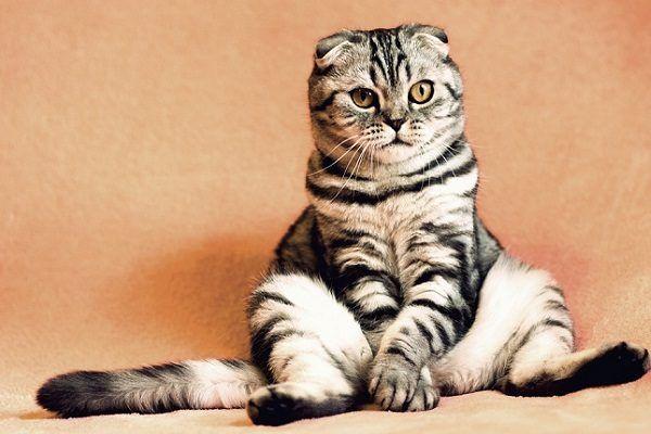 5 Razones para Adoptar un Gato Adulto