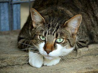 Qué es el Contrato de Adopción del Gato