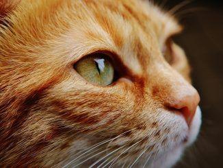 La insuficiencia renal en gatos