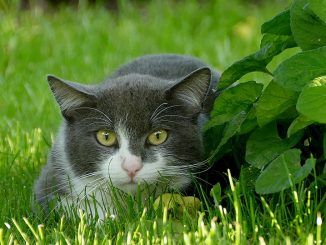 El CELO en las gatas