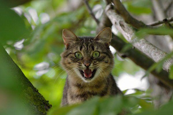 gato-agresivo
