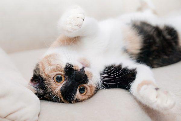 gato-microchip