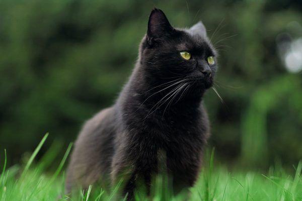 adoptar-gato-negro